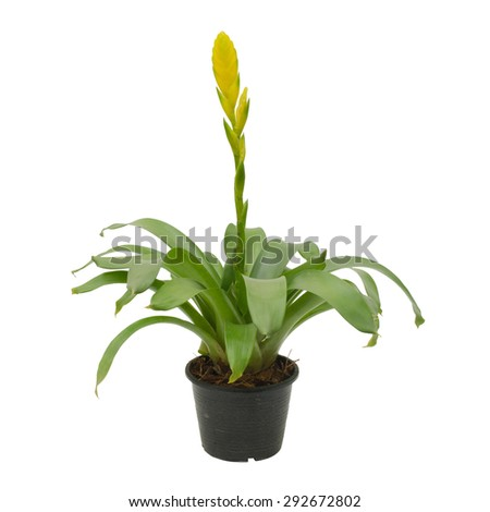 bromeliad isolated on white background