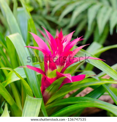 Bromeliad pink flower stock photo royalty free 136747535 bromeliad pink flower mightylinksfo