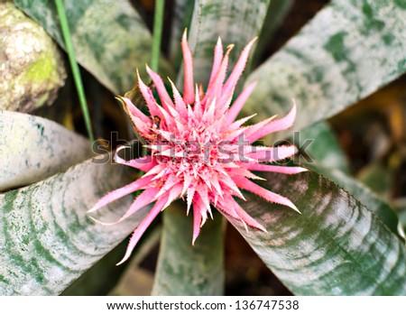 Bromeliad pink flower stock photo 136747538 shutterstock bromeliad pink flower mightylinksfo