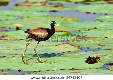 Bronze winged Jacana dancing on Lotus leaves
