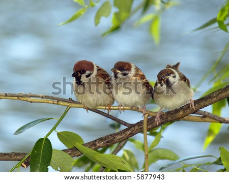 Brood of sparrows - stock photo