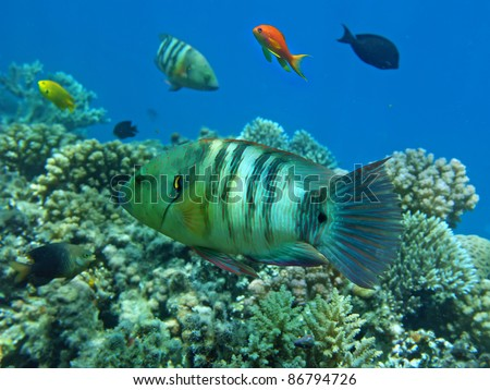 Broom-tail wrasse in the natural environment of tropical sea