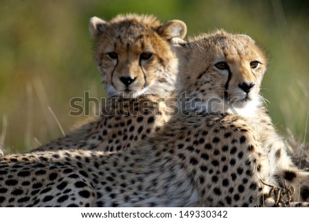 brother and sister baby cheetahs - stock photo