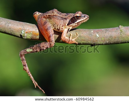 Brow Frog - stock photo