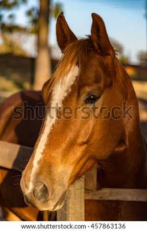 Brown American Quarter Horse