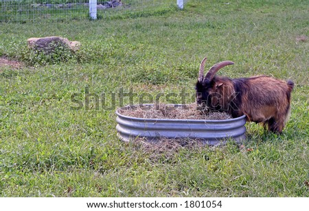 Brown and black billy goat munching on some hay in a farmyard. - stock photo