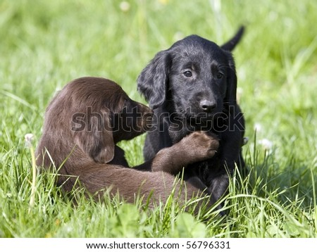 Brown and black puppies plying in grass (flat coated retrievers) - stock photo