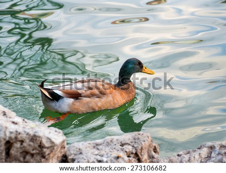 Brown and blue and yellow-billed duck - stock photo