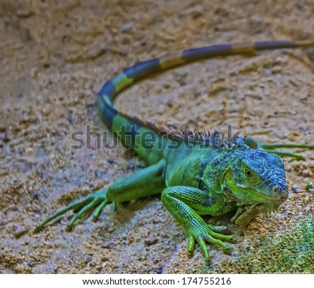 Brown and green lizard - stock photo