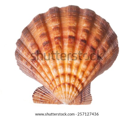 Brown and Orange Seashell isolated on White Background - stock photo