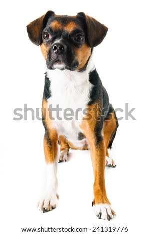 Brown and white beagle and boston terrier mixed breed dog on white background
