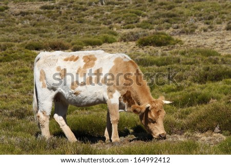 brown and white cow grazing - stock photo