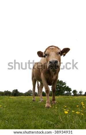 Brown and white cow looking at the camera with a vivid green field