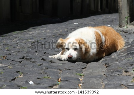 Brown and white dog on cobblestones in the sun