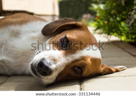 Brown and white dog takes a rest in a garden
