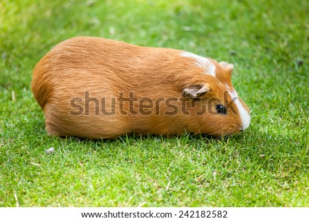 Brown and white Guinea pig eating grass - stock photo