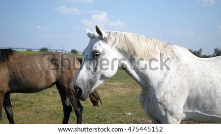 Brown and white horse is standing at farm and wagging tail. Group of horses on the background. Close-up