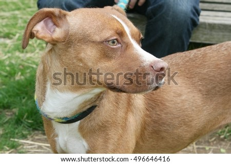 BROWN AND WHITE HOUND DOG