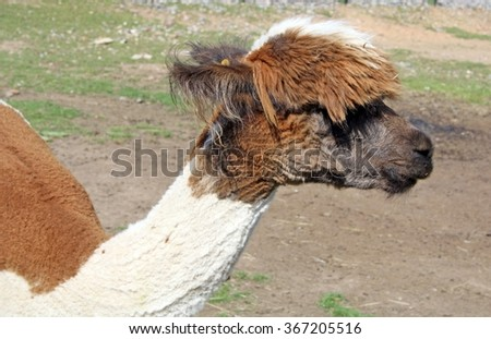 brown and white lama - stock photo