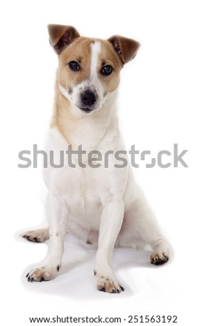 brown and white male jack russell terrier on white background - stock photo