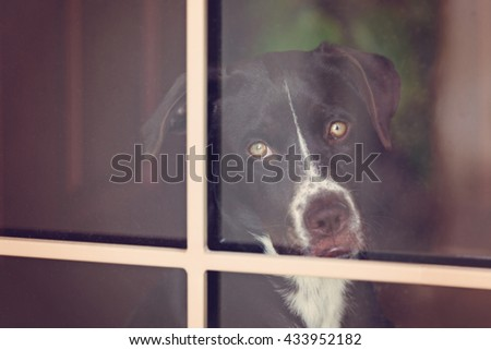 Brown and White Puppy Dog with yellow eyes staring through a glass paned door; up close sad face and stare. - stock photo