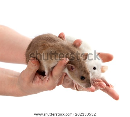 Brown and white rats in hands. Isolated on white background. - stock photo