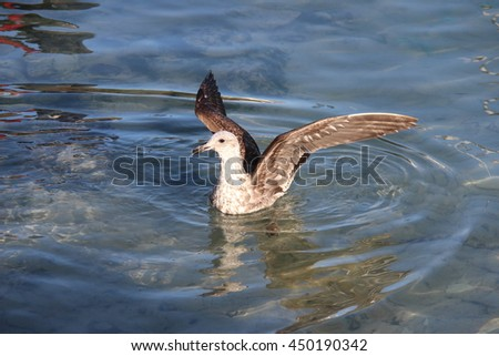 Brown and white seagull landing in the water with it's wings up