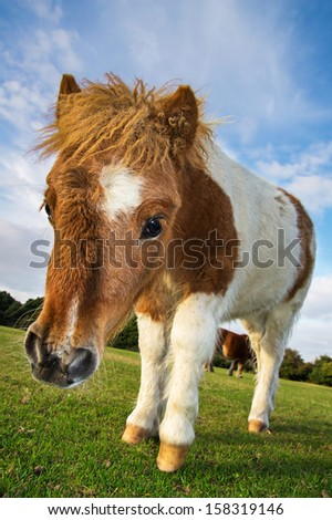 Brown and White Shetland Pony Foal - stock photo