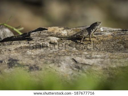 Brown Anole Lizard On Sunny Rock - stock photo