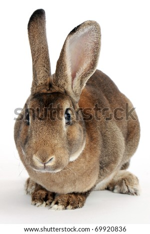 Brown baby bunny isolated on white - stock photo