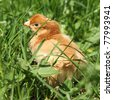 Brown baby chicken on grass - stock photo