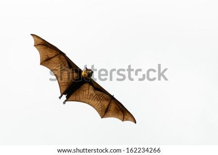Brown Bat - stock photo