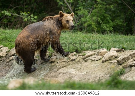 Brown bear after taking a bath - stock photo