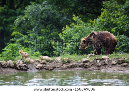 Brown bear and fox walking in the forest - stock photo