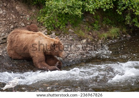 Brown Bear appears to be praying for salmon at the edge of a stream