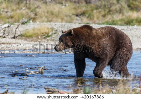 Brown bear at Katmai Alaska eating,chasing sockeye salmon