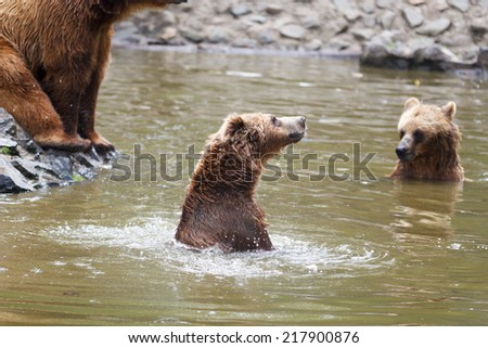 Brown bear at the zoo with tree trunks and water