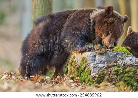 brown bear behind stone