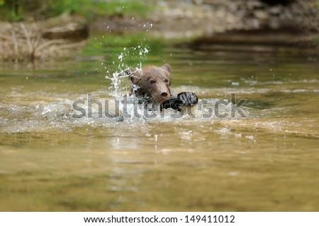 Brown bear cub in lake - stock photo