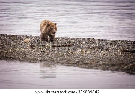 Brown Bear Cub, Katmai National Park, Alaska, USA. - stock photo