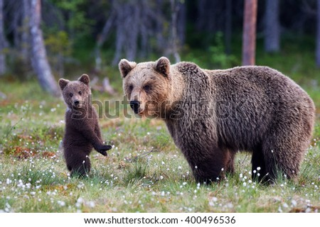 Brown bear cub standing and her mom close - stock photo