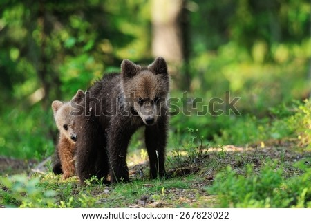 Brown bear cubs playing in forest - stock photo
