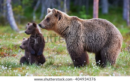 Brown bear cubs standing and her mom close - stock photo