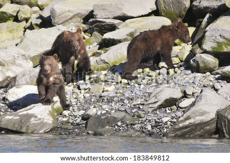 brown bear cubs wait for mom - stock photo