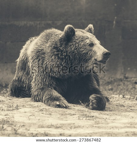 brown bear - desaturated