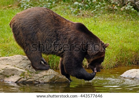 Brown bear drinking water. Brown bear, Ursus arctos, sitting on the stone, near the water pond. Brow bear in the water. Big brown bear with water in the paw. Brown bear in the nature lake habitat.
