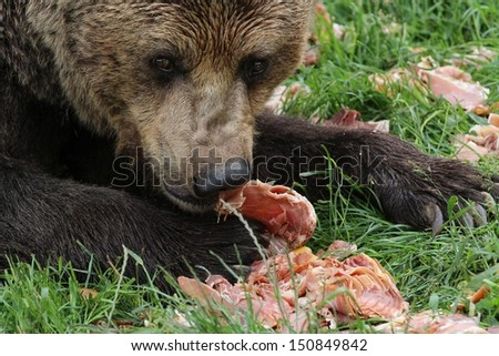Brown bear eating meat - stock photo