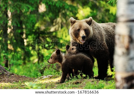 Brown bear family in forest - stock photo