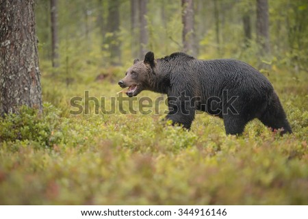 Brown bear, Finland, running away after stealing a rivals salmon