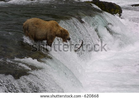 Brown Bear Fishing with Leaping Salmon - stock photo